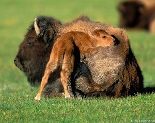 Bison_and_calf_Dick_Forehand1-620x495