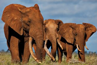 African-elephants-ivory-tusks-615