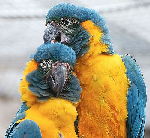 Blue-throated-macaw2