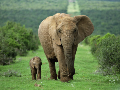 Toon-ann-steve-mother-and-calf-african-elephant-loxodonta-africana-addo-national-park-south-africa-africa