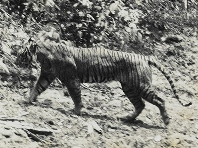 Javan-tiger-extinct-since-1970s