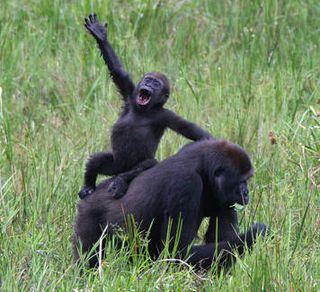 Gorillas-congo