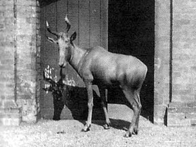 Bubal-hartebeest-extinct-since-1954