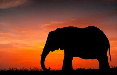 Elephant-poaching-592x379-400x256