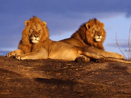 African-lions-masai-mara-kenya-wallpaper_1226147935