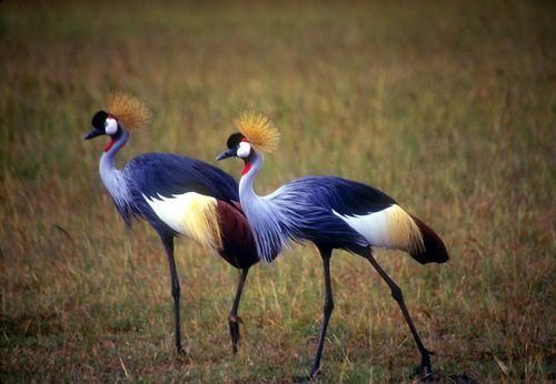 Tanzania_Grey_Crowned_Cranes