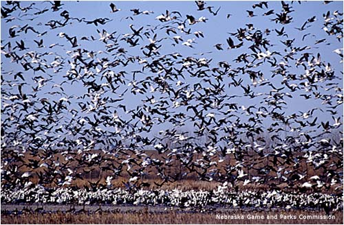 Sandhill-crane-migration