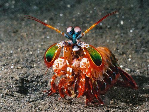 Mantis shrimp2