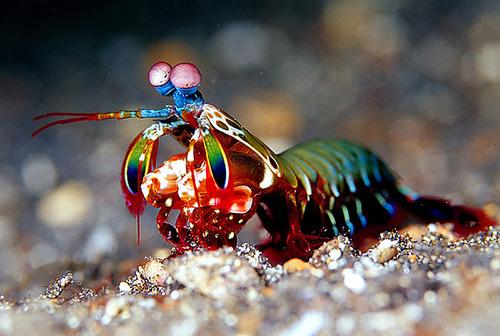 Mantis shrimp1