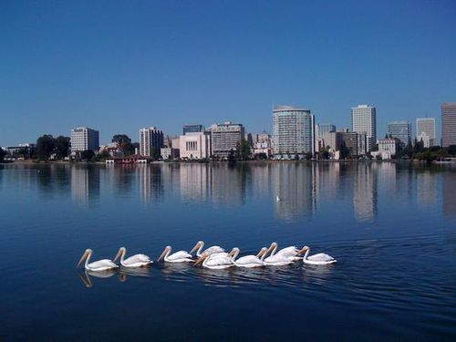 White-pelicans-lake-merritt_600