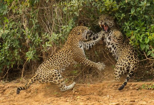 -jaguar-attack-a-male-companion-near-a-river-in-brazil-and-caught-the-moment-on-film-the-image-won-a-spot-in-the-wildlife-photographer-of-the-year-competition