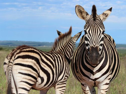 Pes-and-incorporates-semi-arid-landscapes-all-the-way-to-a-marine-reserve-these-zebra-were-so-calm-and-you-just-got-the-feeling-they-wanted-to-be-photographed